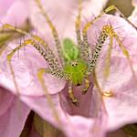 Araña Lince - Lynx spider