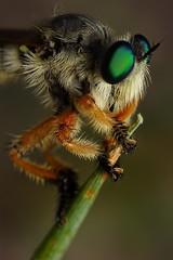 robber fly (Mundo Poco) Tags: macro canon insect fly robberfly rebelxt eos350d robber mpe 65mm naturesfinest focusstack abigfave worldbest megaphorus diamondclassphotographer magicofaworldinmacro macrofoted buzznbugs