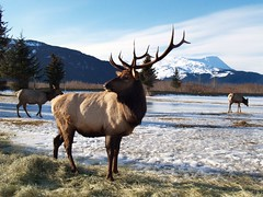 Elk in Alaska - 15,000 views of this image (drurydrama (Len Radin)) Tags: world fab alaska wonderful mix elk interestingness11 themoulinrouge blueribbonwinner amazingtalent 10faves i500 25faves goldenmix mywinners abigfave favemegroup6 wonderfulworldmix theperfectphotographer photominoalphabet