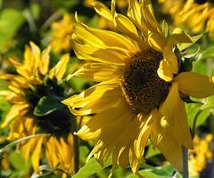Bright and Sunny (Chickadee (Carole)) Tags: naturesfinest blueribbonwinner fantasticflower mywinners abigfave goldenphotographer
