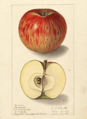 AppleBorovinka