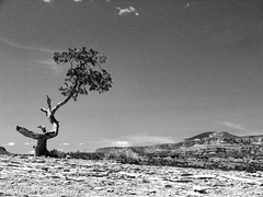 Capitol Reef Tree 1 (harpazo_hope) Tags: park white black tree landscape utah desert capitol national reef fz50