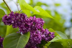 紫丁香 Syringa, Lilac