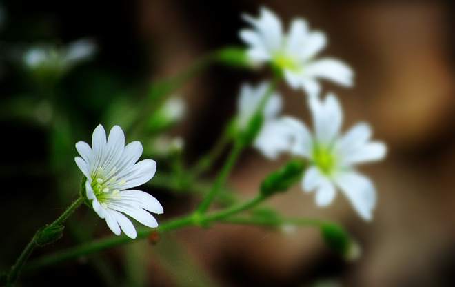 Field chickweed (Starry grasswort)