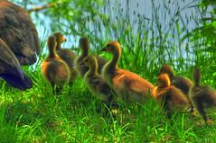 Sometimes I Think I'm In A Fairy Tale (ozoni11) Tags: bird nature birds geese nikon goose goslings gosling waterfowl canadagoose canadageese columbiamaryland d300 wildelake tonemapping tonemap michaeloberman ozoni11