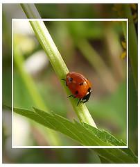 Beetle (LouisY55) Tags: macro beetle lysdor