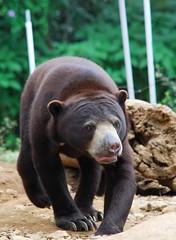 Safari Garden - Bear (saefulhasyim) Tags: bear zoo naturesfinest specanimal safarigarden jalalspagesanimalkingdom