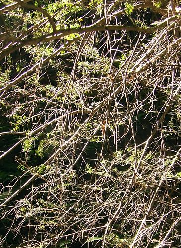 adelgid-decimated foliage