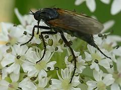 draycote meadows 06062007-16 (Walwyn) Tags: warwickshire diptera dancefly empididae walwyn draycotemeadows