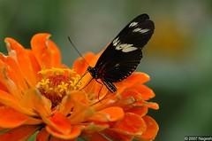 Doris Longwing (In the Lens World) Tags: brooksidegardens buttefly dorislongwing 105mmf28gvrmicro nikon105mmf28vr