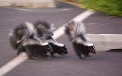 Baby Skunks (and gunshots)b (nebarnix) Tags: park animals babies moscow wildlife berman skunks