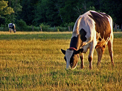 Evening Graze (BehindBlueEyes) Tags: grass cow newjersey dusk farm nj somersetcounty franklinpark