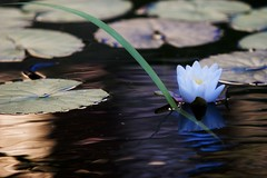 Waving... (etravus) Tags: california ca pink flowers light orange plants white fish green nature water sunshine animals yellow fauna garden petals cool wings pond colorful pattern dof glendale natural lotus dragonfly insects koi leafs dreamworks reflectoin shadoe dwa floura