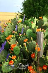 Cactus Fence Post Buzz