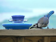 """You feelin' guilty yet, Missy?"" (Lollie Dot Com) Tags: blue bird jay bluejay lolliedotcompix bluejaybecomesart p1250546nnccrop"