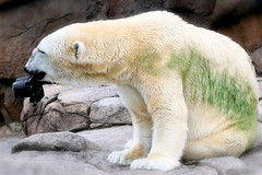 Wilhelm the Polar Bear at play - by Ted Abbott