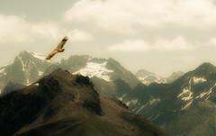Sobrevolando las cimas/ Overflying the tops (zubillaga61) Tags: mountain landscape paisaje vulture pyrenees pirineos buitre montes