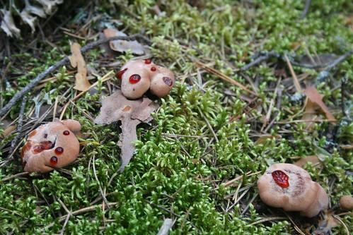 Mushrooms sweating blood