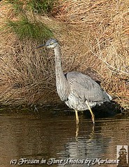 P2200473  LOOKING FOR SOMETHING TO EAT... (Frozen in Time photos by Marianne AWAY OFF/ON) Tags: bird nature birds virginia wildlife greatblueheron nationalwildliferefuge ardeaherodias naturesfinest chincoteagueisland friends~ nationalgeographicwannabes mywinnerstrophy anawesomeshot naturewatcher ilovemypics checkoutmynewpics birdsinsideandoutside nature♥unlimited♥publicgroupforever animalsinzoosparks photosrus personalbestpreservingmeaningfulmoments naturegreenstar nationalgeographiswannabes
