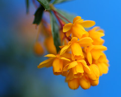 Berberine blues - Berberis linearifolia (Mukumbura) Tags: flowers blue orange macro nature contrast garden conservative liberaldemocrats orangeking davidcameron nickclegg berberislinearifolia