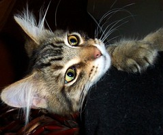 Baby Monster ~ Happy Whisker Wednesday! (FurBabyLuv *Finally back Online) Tags: baby cute monster cat eyes kitten tabby whiskers mainecoon eartufts bestofcats
