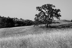 Tree On Golden Hillside - B&W