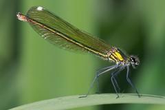 C. splendens (rjknell) Tags: macro female insect damselfly odonata naturesfinest zygoptera calopterygidae bandeddemoiselle calopteryxsplendens d80