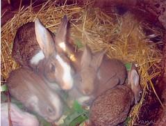 إقْنَنْيَّنْ  Lapins أرانب
