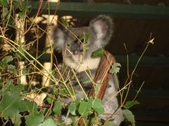Lone Pine Koalas6