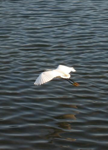 Soaring snowy egret_0771