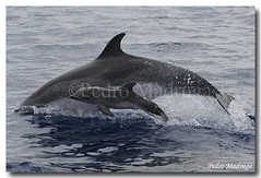 Stenella Frontalis (PedroMadruga) Tags: ocean sea wild mammal dolphin wildlife calf pintada azores açores cetacean openocean spotteddolphin pedromadruga pintadinhas