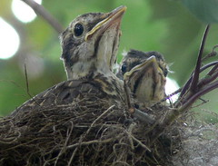 FBI: Robins (turdue migrator) they are so cute waiting for their food to arrive (Frozen in Time photos by Marianne AWAY OFF/ON) Tags: nature birds wildlife robins fbi bestofflickr nests turdusmigratorius babybirds naturesfinest flickraddicts backyardbirds birdlovers favorites5 featheryfriday birdsbirdsbirds birdfanatics birdpix nationalgeographicwannabes shieldofexcellence newjerseybirds featheredwingedbirdphotography jerseybirders favoritesbyinterestingness thenaturegroup naturewatching turduemigrator naturesbabies naturesexquisite naturesaroundyourhouse featheredwingesbird feathersbeaksbirds nationalgeographiswannabes oiseauxnidsbirdsnestsavesnidosuccellinidi