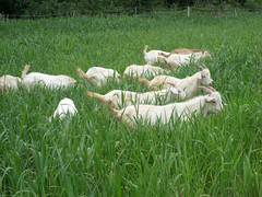 Goats grazing pearl millet in the 2007 test