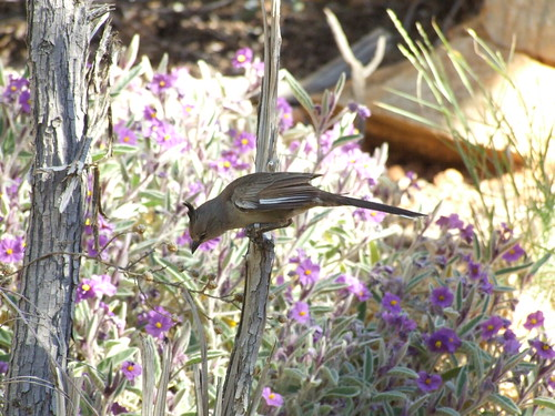 Crested Bellbird in Central Australia.