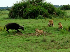 The Chase: Chasing The Chasers (Makgobokgobo) Tags: africa mammal buffalo lion botswana predator wma okavango duba panthera pantheraleo synceruscaffer okavangodelta wildlifemanagementarea syncerus specanimal dubaplains ng23 kwandowildlifemanagementarea