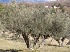 20070803 - Friday Olive Tree Blogging