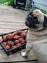 norman with potatoes