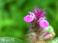 Purple patch (tomato umlaut) Tags: india tag3 taggedout topv333 tag2 tag1 wildflower lonavala naturesfinest supershot justiciaprocumbens commonsmalljusticia ghatipittapapada kalmashi