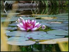 Silkes Seerose -  水蓮