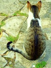 From behind - Pelas costas - 2 (* starrynight1) Tags: portugal cat garden geotagged kat chat jardin gato jardim stray oeiras katze cath  macska gatto  garten kot kedi giardino katt trdgrd kissa tommie abandonado    katu felissilvestriscatus hauskatze pisic     kokadomc