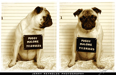 Pug Shot (Jerry Reynolds) Tags: dog animal photography photo jerry pug photoblog northdakota nd mug mugshot fargo reynolds malone pugsy fargond jerryreynolds pugshot jerryreynoldscom pugsymalone