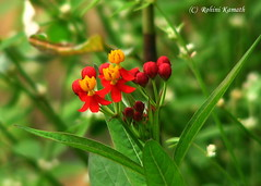 Wild Flower - Red Yellow