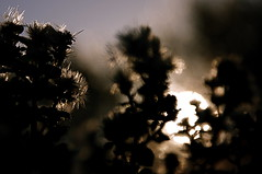 _MG_0987 (dannunzio.beth) Tags: california light sunset plants macro art silhouette weeds napa backlit backlighting
