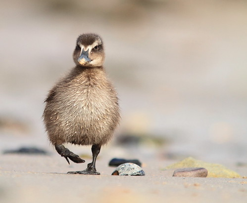 Common eider duckling