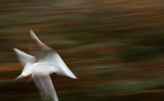 Herbstlicher Mwenflug - Autumnly Sea Gull (~shrewd~) Tags: sea tower canon germany geotagged deutschland eos frankfurt gull meeting bank explore turm mwe flickrmeet fkk fra icm commerzbank dresdner ffm opfer dresdnerbank flickrwalk explored 40d bernahme geo:tool=yuancc intentionalcameramovement canoneos40d commerz bankenkrise rckfhrung fkk131110 rckgefhrt geo:lat=50107446 geo:lon=8688965 nichtjonathan