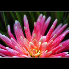 Hieroglyphics (1crzqbn~away) Tags: pink dahlia flower color macro grass flora bokeh quote naturallight 321 7d legacy hieroglyphics coth project365 wolfgangvongoethe bokehwednesday exoticimage shuttersisters365 fadedblurred3652010 1crzqbn pinnaclephotography