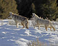 Coyote Pair (Dave Stiles) Tags: coyote wildlife explore yellowstonenationalpark yellowstone stiles canislatrans specanimal yellowstonewildlife wintercoyote