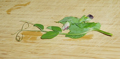 pea tendril with flower