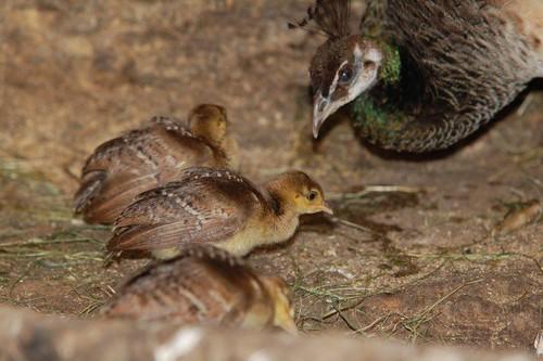 Påfuglhoe som passer unga