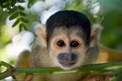 Curious Eyes (Marc Shandro) Tags: southamerica face look animals monkey eyes head bolivia stare curious mammals pampas squirrelmonkey specanimal aplusphoto bfgreatesthits balatours